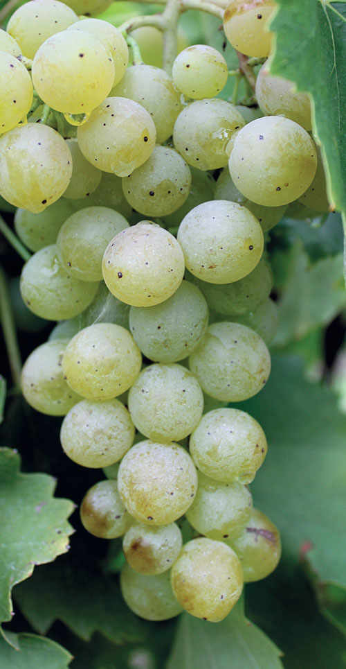 Famoso, The Grape That Italy Forgot