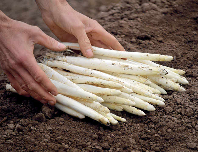 The White and Green Asparagus from Treviso