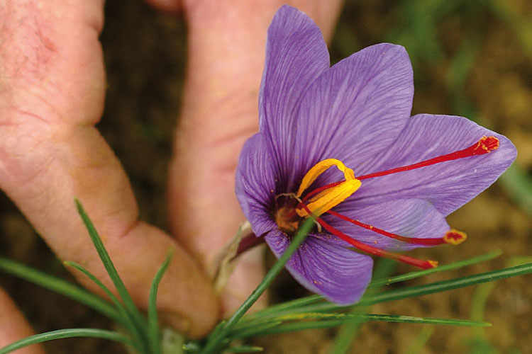 Present in a limited number of regions, and only in dedicated areas, the cultivation of saffron has acquired interest in the last decade.
