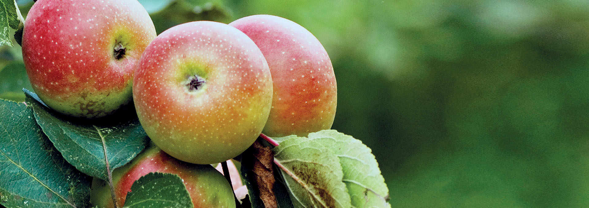 The Pink Apple of The Sibillini Mountains