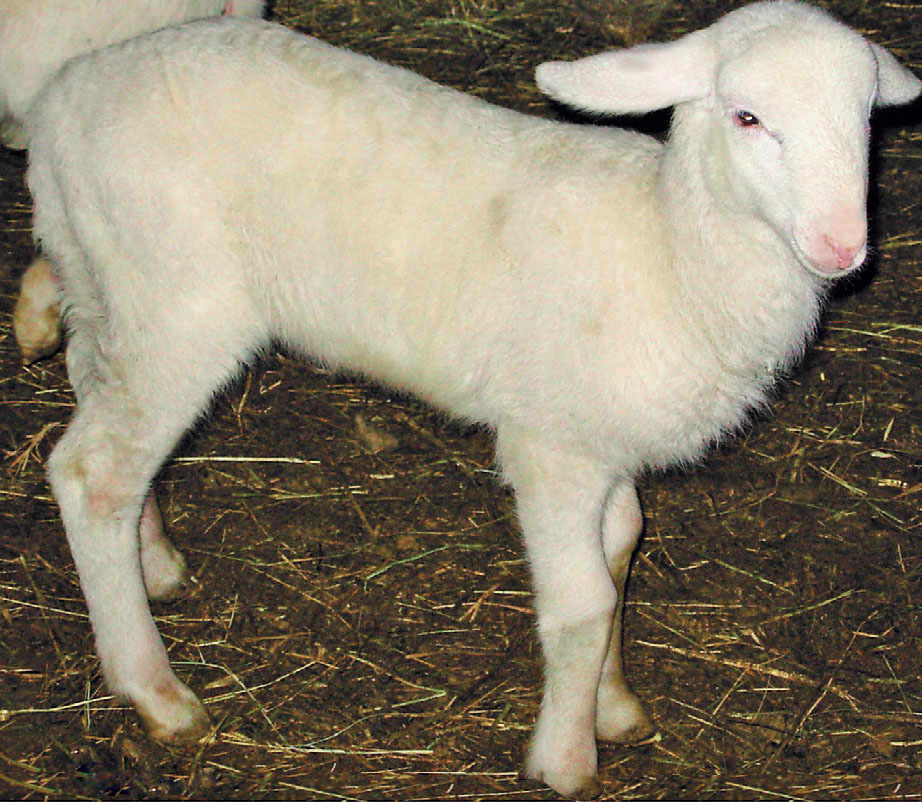 The Fabrianese Lamb