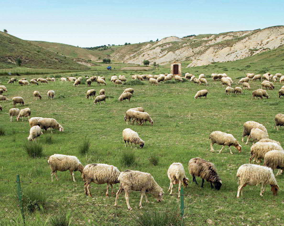 Province of Matera. Sheep browsing.