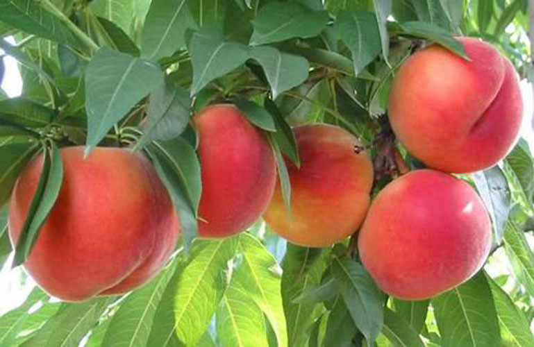 The Friulian Peach.