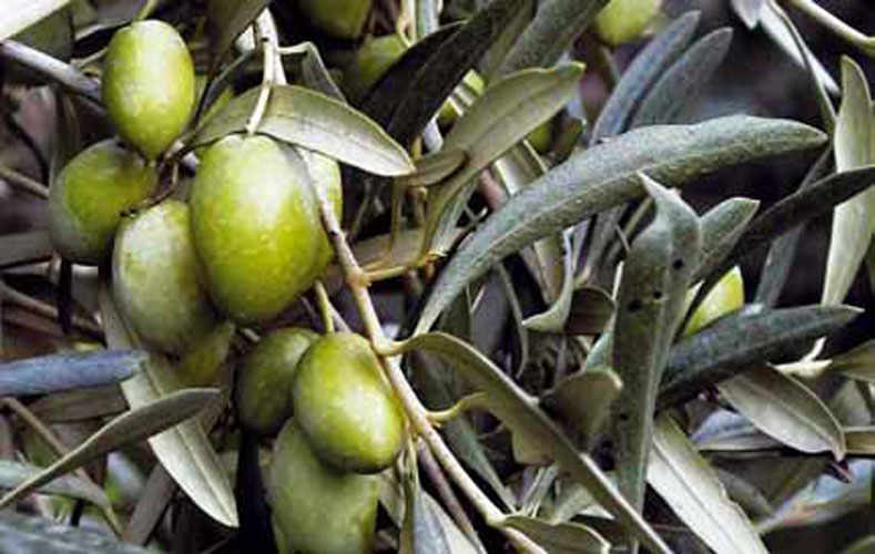 The Nocellara Olive of Mount Etna.
