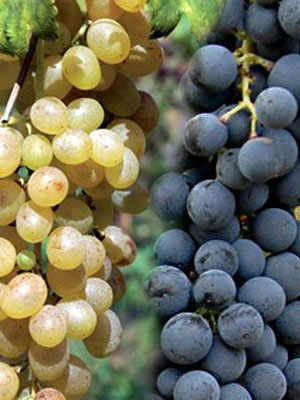Catalanesca and Casavecchia: two emerging autochthonous wines from Campania