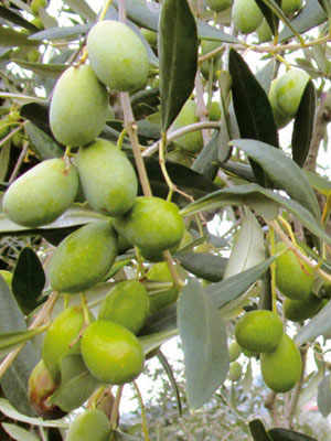 The Casaliva Olive
